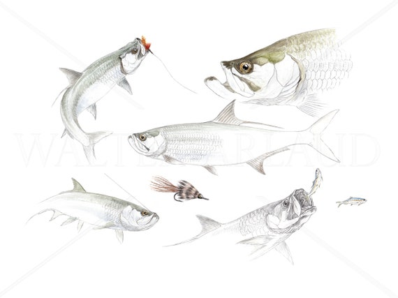 Tarpon study, printing, watercolor, drawing, fisherman's gift, fishing board, fishing art, decoration, animal art