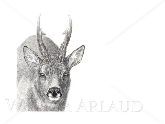 Portrait Deer, print, drawing, watercolour, animal art, animal painting, house and decoration, mountain animals