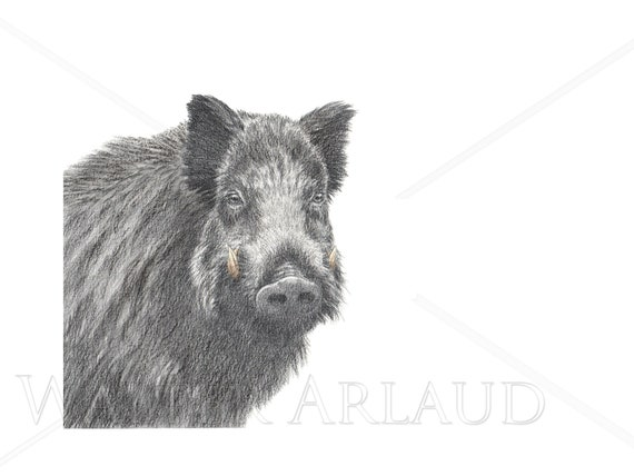 Wild boar portrait, print, drawing, watercolour, animal art, animal painting, art, decoration, mountain animals