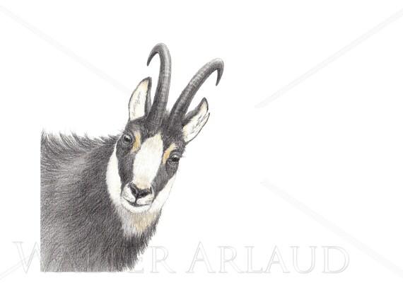 Portrait Chamois, print, drawing, watercolour, animal art, animal painting, art, decoration, mountain animals