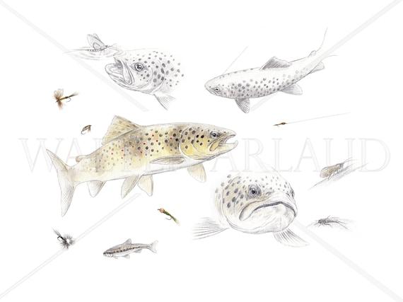 Study Trout fario, printing, watercolor, drawing, fisherman's gift, fishing table, fishing art, decoration, animal art