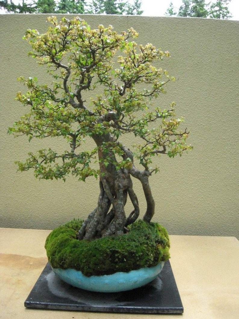 40 Trident Maple seeds w/ 10-year bonsai growing guide / image 0
