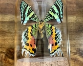 Real Colorful Metallic Madagascan Sunset Moth in a Glass Dome, Chrysiridia Rhipheus Entomology Specimen