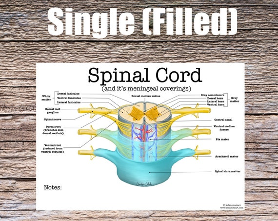 Spinal Cord Anatomy (SINGLE FILLED)