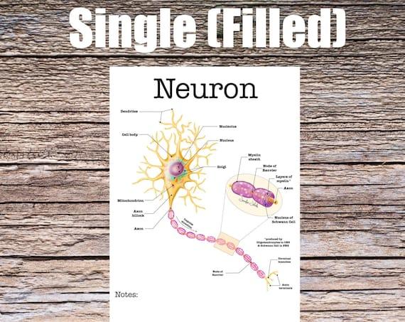 Neuron Anatomy Worksheet (SINGLE FILLED)