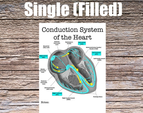 Conduction System of the Heart Anatomy (SINGLE FILLED)