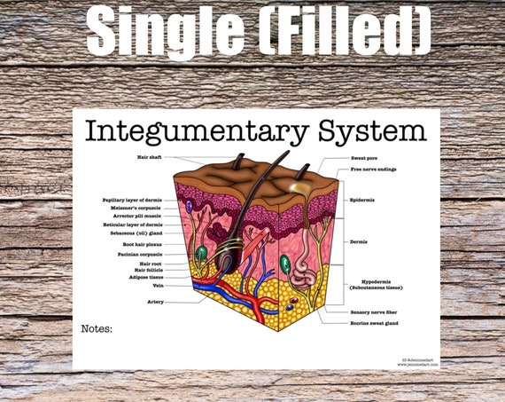 Integumentary System (SINGLE FILLED)
