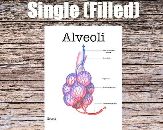 Alveoli Anatomy Worksheet (SINGLE FILLED)
