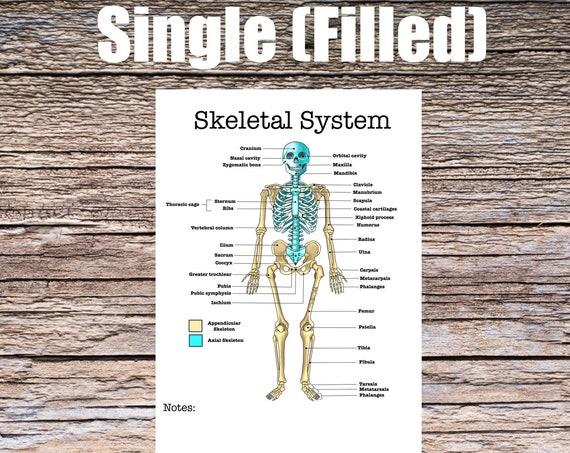Skeletal System Anatomy Worksheet (SINGLE FILLED)