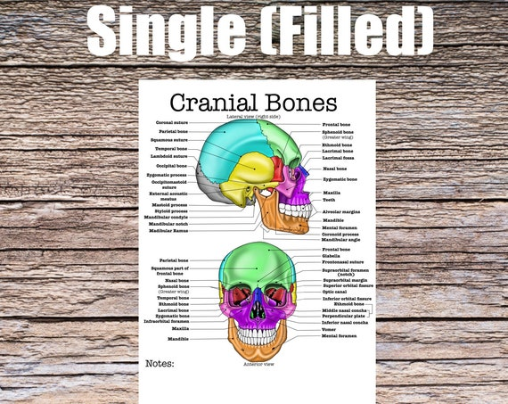 Cranial Bones Anatomy Worksheet- Single Filled, Digital Download Human Anatomy Chart Anatomy Art Learning Anatomy Medical Poster Med Student
