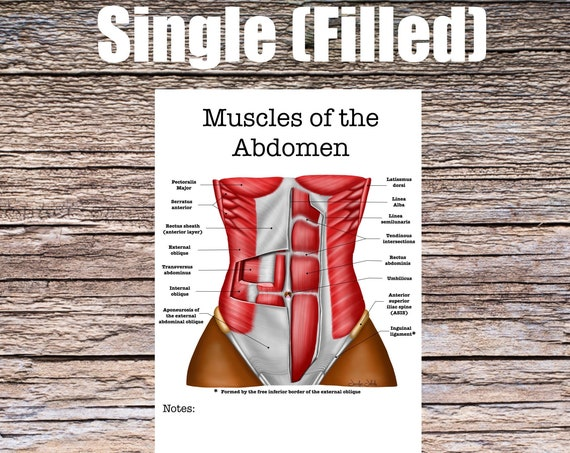 Muscles of the Abdomen Anatomy Worksheet (SINGLE FILLED)
