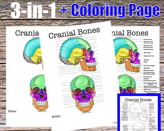 Cranial Bones Anatomy Worksheet, 3-in-1 Set + A Labeled Coloring Page