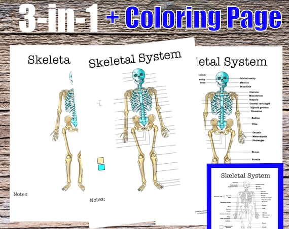 Skeletal System Anatomy Worksheet, 3-in-1 Set + A Labeled Coloring Page