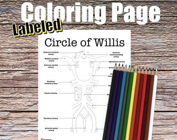 Circle of Willis Anatomy Coloring page (LABELED)