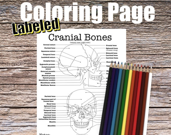 Cranial Bones Anatomy Coloring page (LABELED)
