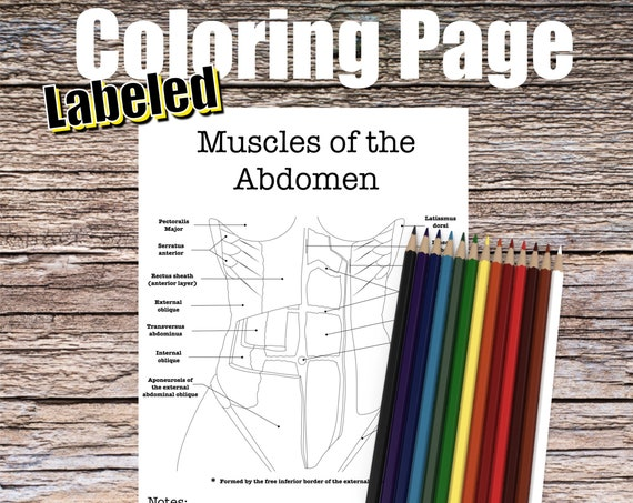 Muscles of the Abdomen Anatomy Coloring page (LABELED)