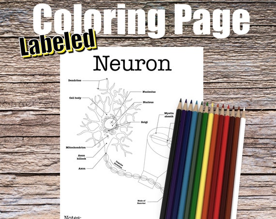 Neuron Anatomy Coloring page (LABELED)