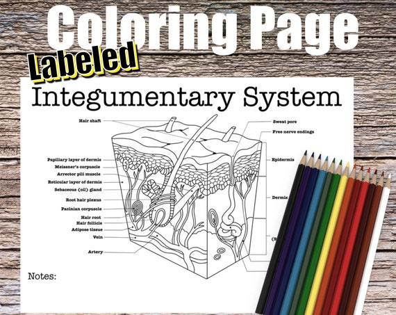 Integumentary System Coloring page (LABELED)