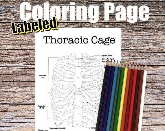 Thoracic Cage Anatomy Coloring page (LABELED)