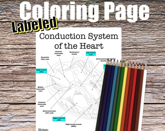 Conduction System of the Heart Anatomy Coloring page (LABELED)