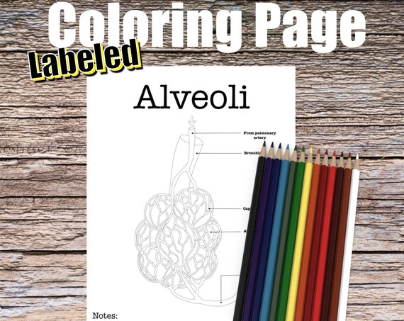 Alveoli Anatomy Coloring page (LABELED)