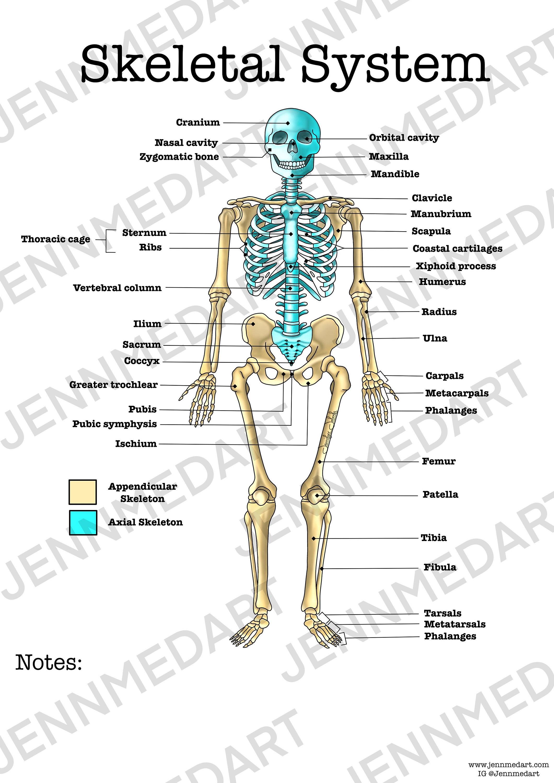 Skeletal System Anatomy Worksheet, 3-in-1 Set A Labeled ...