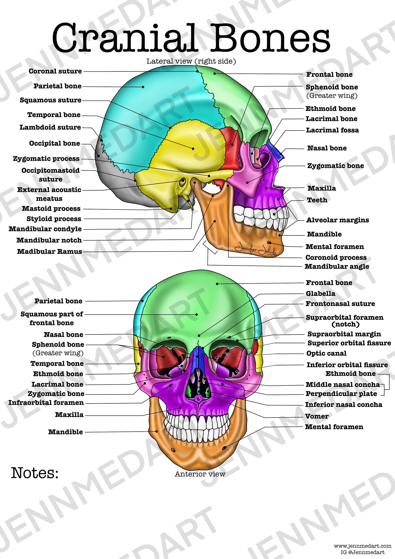 Cranial Bones Anatomy Worksheet, 3-in-1 Set A Labeled ...
