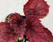 Rex Begonia 39 Ideal Burgundy 39