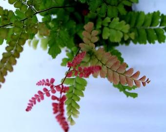 Rosy Maidenhair Fern (Adiantum Hispidulum)