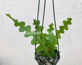 Ric Rac Cactus Epiphyllum Anguliger HARD TO FIND Zig Zag Cactus Fishbone Cactus Epiphyllum Anguliger Zig Zag Cactus Live House Plant Gift