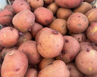20 small red seed potatoes