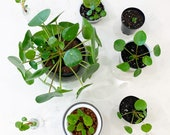 Live Rooted Pilea Pepeperomioides Clipping Cutting (Pancake Plant Chinese Money Plant)