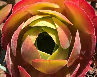 Aeonium Blushing Beauty, Aeonium succulent, multiple colors change through seasons, super easy to propagate from stems, CLEARANCE