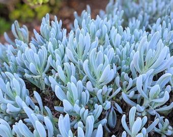 Rare Blue Chalk Stick Curio Repens Senecio Serpens Chalk Fingers Groundcover Plant Live Blue Green Succulent Cutting Clipping