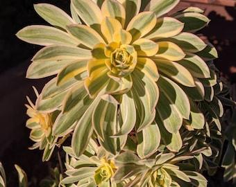Rare Aeonium Decorum Sunburst Tricolor Copper Pinwheel Live Succulent Cutting Clipping