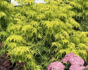 Lemony Lace Elderberry Sambucus. Live Plant North American Native