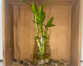 Set of Three Stalks 4in Lucky Bamboo Plant