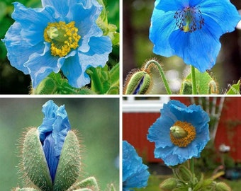 50+ Blue Poppy Himalayan Blue Meconopsis Perennial Flowering Home Garden US Ship Fast grow opi flower beautiful blue flower plant fresh US
