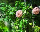 Hoya Hindu Rope live plant -2 quot , 3 quot ,4 quot ,6 quot pot or bare root