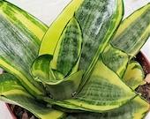 Sansevieria laurentii,sansevieria golden hahnii, sansevieria black gold, Snake Plant, Air Purifying Succulent-in 4 Pot