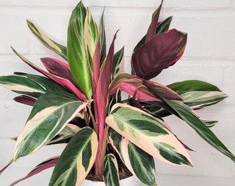 "Calathea Triostar,Stromanthe Triostar, Tricolor, Prayer Plant,Calathea, Pink Calathea,Calathea Stromanthe Live HousePlant-in 3"",4"" or 6"" Pot"