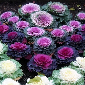 Fantastic Autumn Decoration 25 RED PEACOCK Ornamental Cabbage Seeds