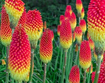 Kniphofia uvaria seeds Red-hot Poker Seeds Hot Poker Seeds Garden Starts Nursery PERENNIAL Red hot poker torch lily seeds organic tritoma