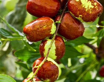 Jujube Fruit Tree Delicacy since ancient times superfruit Ziziphus jujube FAST growing! 50 year life span  10 seeds FREE SHIPPING!