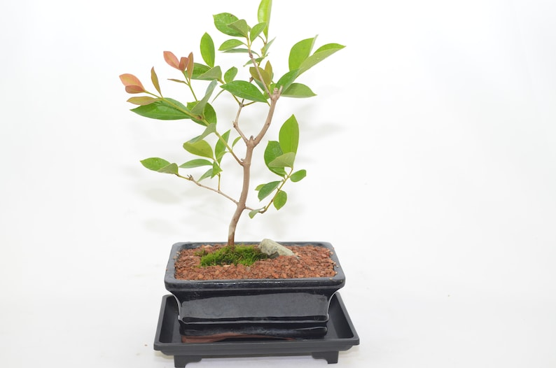 Indoor Fruit Bonsai Guava 5 Years Old Edible Fruits Etsy