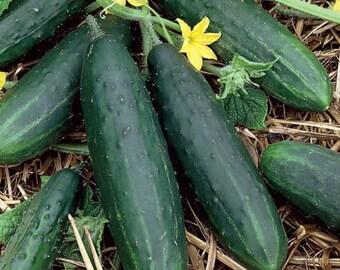 Straight Eight Heirloom 100 Cucumber Seeds seeds  2021 Seed Grown in 2020