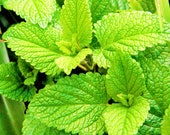 Spearmint Seeds Mentha Spicata Non GMO Heirloom Herb Garden USA Peppermint Spear Mint Mackerol Vegetable Seed For 2021 Fast Shipping