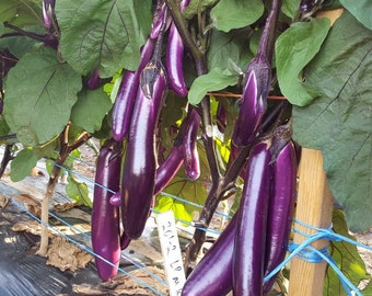 Chinese Eggplant Seeds | USA Long Purple Eggplants Aubergine Asian Japanese Vegetable Garden Plant Seed For 2021 Fast Growing Fast Shipping