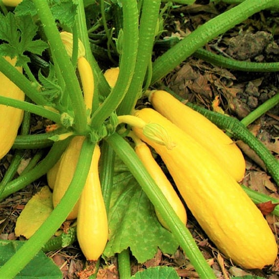 Combination Pack USA Garden Vegetable Zucchini Straightneck Seed For 2021 Season Fast Shipping Black and Yellow Summer Squash Seeds Mix