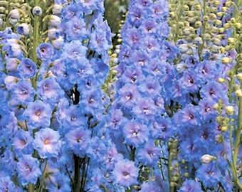 Light Blue Rocket Larkspur Seeds   Delphinium Consolida NON GMO Annual Garden Border Lavender Flower Seeds For 2022 Season Fast Shipping